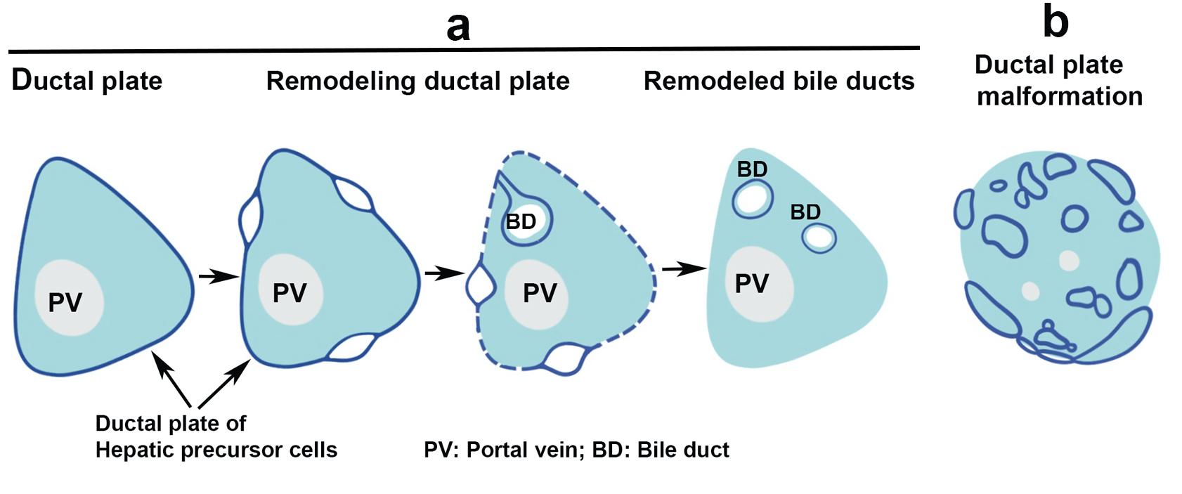 Embryogenesis of intrahepatic bile duct