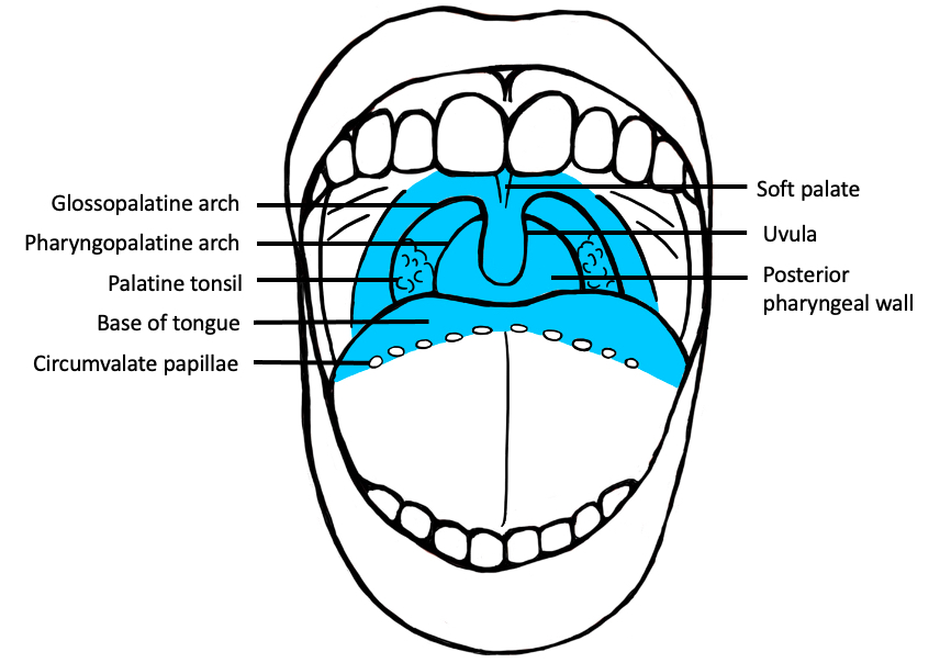 Oropharynx (frontal view)
