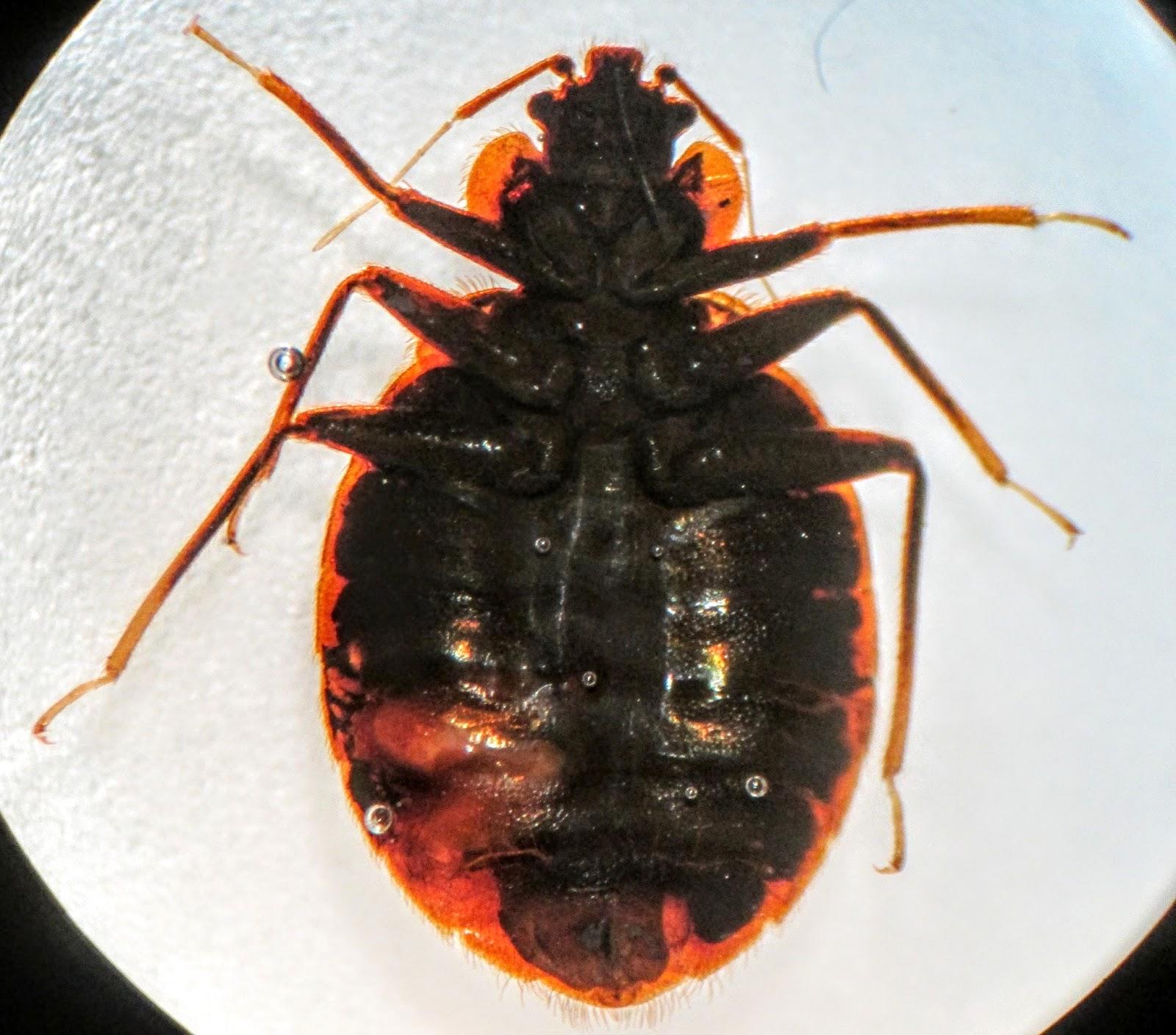 Pathology Outlines Cimex Lectularius Bed Bug