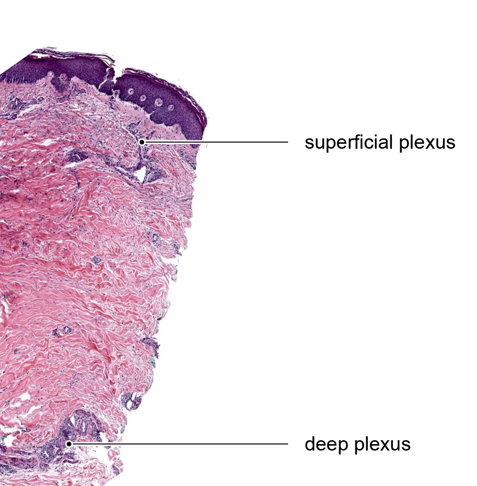 Superficial and deep neurovascular plexuses