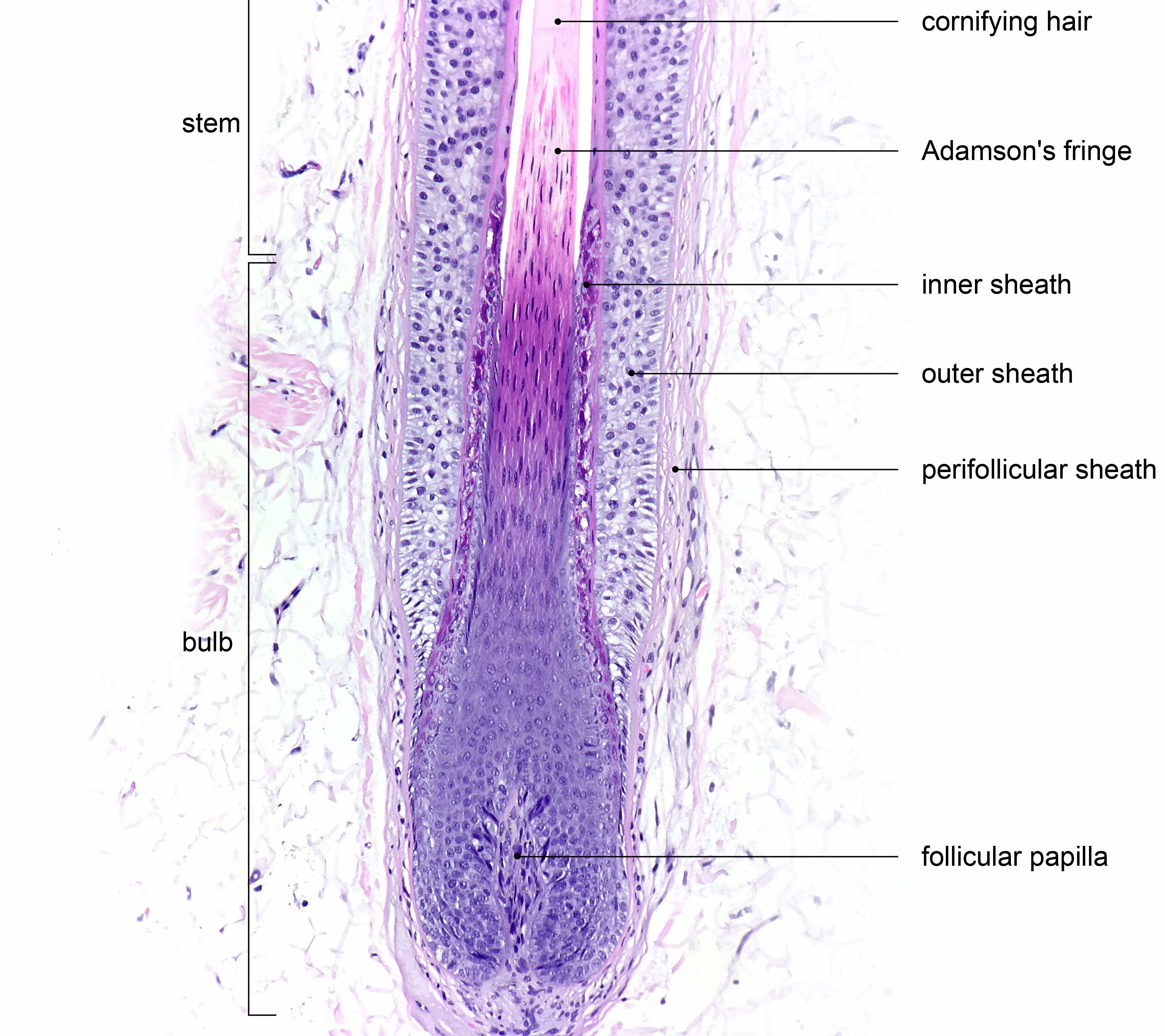 Layers of terminal anagen hair follicle