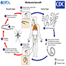Life cycle of filarial worms