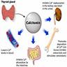 Calcitonin function