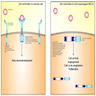 Rearranged ALK signaling in NSCLC