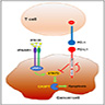 PDL1 inhibits T cell dependent cytotoxicity through a STAT3 / caspase-7–dependent signaling pathway in cancer cells