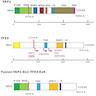 Protein domains of <i>YAP1</i>, <i>TFE3</i>
