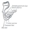 Pancreas of human embryo
